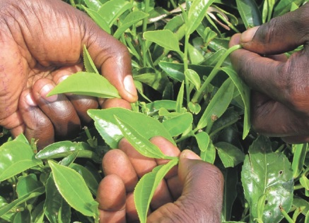 Spotlight on: the small tea farms of southwestern Kenya